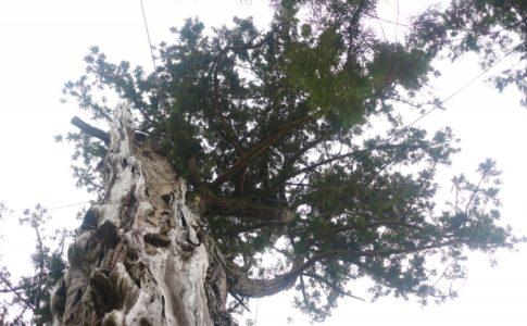 推定樹齢1300年、佐久の大杉